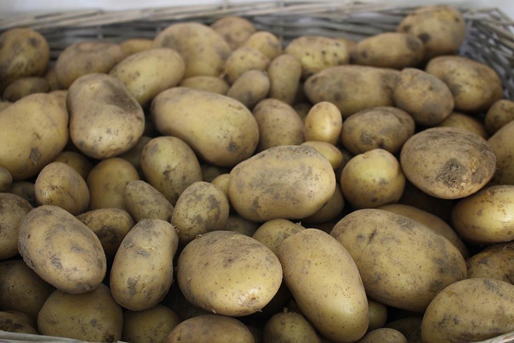 pommes de terre nouvelles rattes bio en permaculture le champ de la grelinette trigavou 22. Black Bedroom Furniture Sets. Home Design Ideas